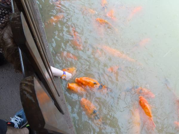 No joke, the fishes come to eat bread from your hands!!!! At LIndendorf Park